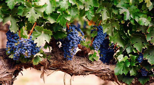 Grape_Vine02