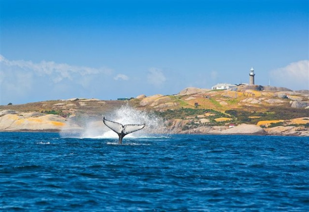 Whales at Montague Island