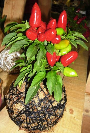 Kokedama with stunning chili plant