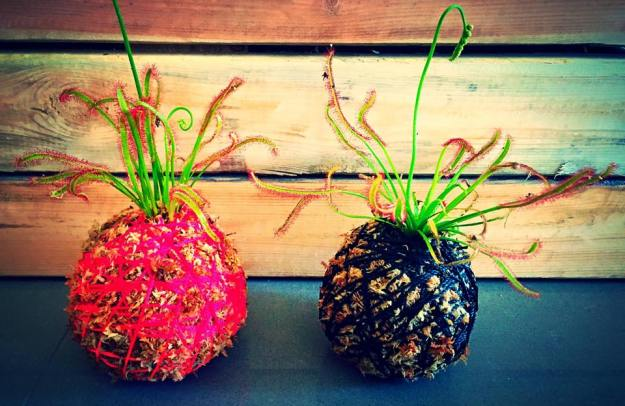 Kokedama (moss balls) with fly trap plants