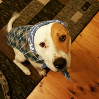 Laz (ARF rescue) dressed in his winter warmers