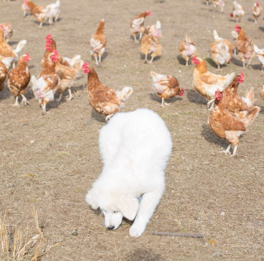 Briar and some of 'her' chickens at Gunning Bum Nuts free-range egg farm.